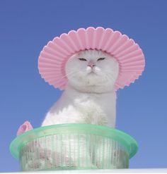 Nobody has more style than Shironeko. Nobody. The most Asian cat ever.
