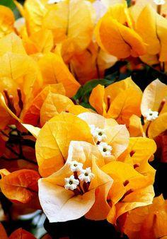 Yellow Bouganvilla