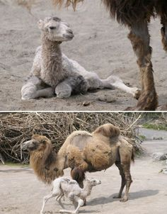 wonderful newborn camel with his mommy!