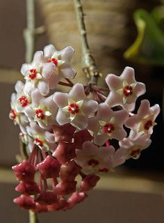 Hoya Carnosa ( Wax Plant )