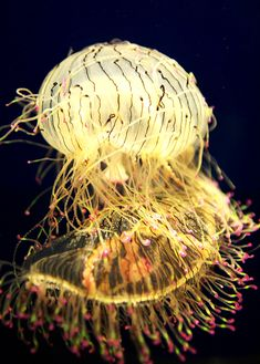 Rare Glowing Flower Hat Jellyfish (Osaka Aquarium, Japan.) When it's not using its long, pink tipped tentacles, it will curl them upwards towards its pin-striped bell to sit and wait until some kind of prey comes along.
