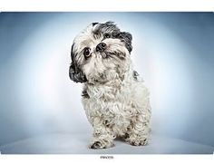 Pictures of Princess a Shih Tzu Mix for adoption in New York, NY who needs a loving home.