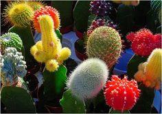 plant, cactus garden, wedding flowers, babi cactus, color cacti, centerpieces, succul, mexican fiesta, color babi