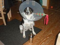 DIY Dog costume, DIY dog halloween costume, diy pet halloween costume, diy pet costume, martini glass dog costume