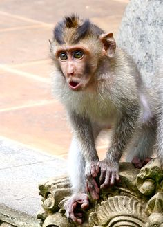 Younglong-tailed macaque. Monkey Forest, Ubud, Bali.  By: Stephanie Frankle