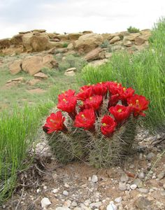 Common Name - Claret cup cactus, Kingcup cactus, Mojave mound cactus, Claret Cup Hedgehog, Curved Spine Claret Cup. Latin Name - Echinocereus triglochidiatus  ...(had a few of these in my cactus garden out west, loved them)