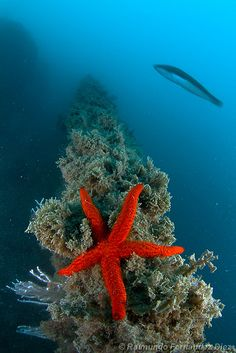 red starfish by Rai Fernandez