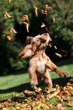 Puppy in autumn leaves