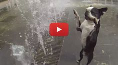 This One went on 2 Paws! :P Watch 3 Bostons Playing in the Water Fountains! ► http://www.bterrier.com/?p=25254 - https://www.facebook.com/bterrierdogs