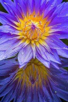 flowersgardenlove: waterlili, sunris, water lili, garden, flower