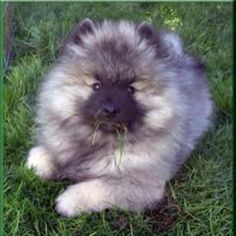 puppies, anim, cutest dogs, names, keeshond puppi