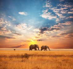 African Elephants on the Serengeti at Sunrise