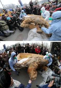 http://www.reddit.com/r/pics/comments/2kp8o5/the_body_of_baby_mammoth_on_display_in_moscow/  http://www.reddit.com/r/pics/comments/2knl0d/meet_yuka_age_39000_bestpreserved_mammoth_ever/
