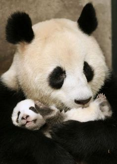 mom and baby pandas