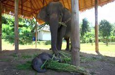 A baby elephant sleeps on mama's food.