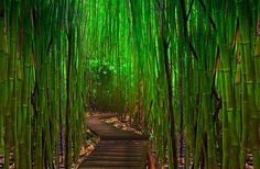 Bamboo Tree Tunnel - Maui, Hawaii