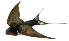vintage french graphics | Vintage French Bird Image - Flying Swallow