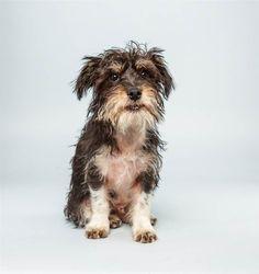 Wyatt the Terrier Mix absolut ador, puppies, terrier mix, ador anim, anim planet, dog, puppi bowl, 12 week, bowls