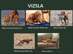 Vizsla. So true.