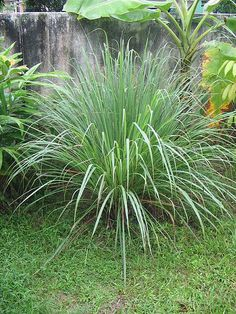 "Citronella Grass to repel mosquitos!  Make sure to buy ""Cybopogon nardus"" or ""Citronella winterianus"" varieties."