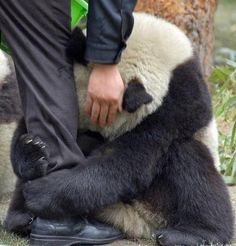 Terrified Panda hugging police officers leg after an earthquake :( seriously the sweetest thing ever.!