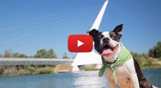 WOW! Follow this Adorable Boston Terrier, on a Dog's Eye View of her Beautiful Weekend Road Trip in California! ► http://www.bterrier.com/?p=26333