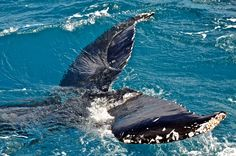 Tommy Campion spots a tail!  Humpback Whale Watching in the calm waters on the lee side of Fraser Island #whalesherveybay #fraserisland #queensland #australia #humpbackwhales #whalewatching http://www.whalewatch.com.au/ www.queensland.com/whales