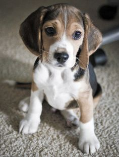 Beagle Puppy :) hehe he is ours (glad someone pinned him.. help promotes his daddy the photographer)