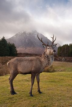 Highland stag with the Buachaille in the background.