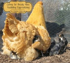 The Chicken Chick®: Caring for Broody Hens: Facilitating Egg-hatching