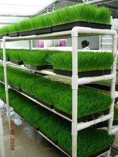 Промышленная гидропонная установка для выращивания витграсса 13