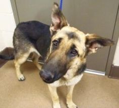 #CALIFORNIA #URGENT ~ Star ID 119433 is a young female #adoptable German Shepherd Dog in #AppleValley. ~~  APPLE VALLEY ANIMAL SERVICES  22131 Powhatan Road   Apple Valley, CA 92307   Ph 760-240-7000 extension 7555  animalservices@applevalley.org