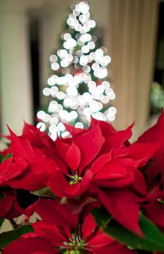 Poinsettias ..christmas lights