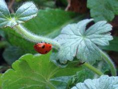 Ladybird in the gard