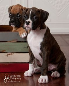 This will be our 2nd boxer!!! I love the flashy brindled... Already have our flashy fawn :0) Boxers are such amazing dogs!!