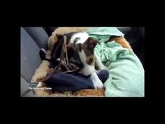 Click here to watch how to do your puppies first successful car ride by professional dog trainer Doggy Dan http://www.howtobeadogtrainer.co.uk/basic-training/  #dogtraining #leash