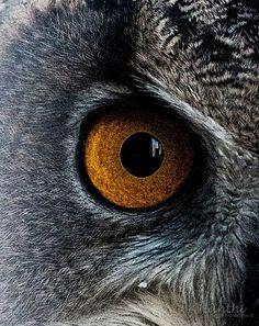 ˚Eurasian Eagle Owl