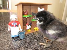 Baby Chick Basics. What you need to know to get started keeping chickens.
