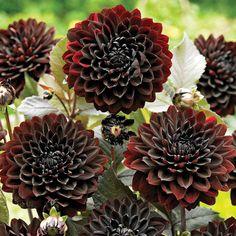 plant, fleur, chocolates, black dahlias, bulbs, blog, karma choc, garden, beauti flower