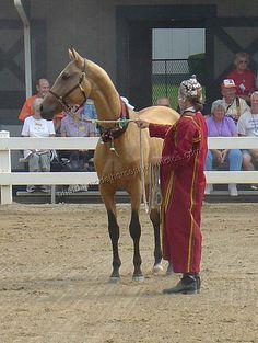 The Akhal Teke Stallion Magnatli