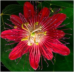 "Passionflower - Passiflora ""Lady Margaret"""