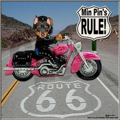 A pink bike and a min pin! LOL!!