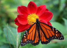 butterfly w/red flower