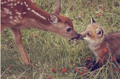 bambi deer kisses a baby fox