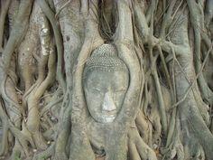 Stone Buddha head in tree