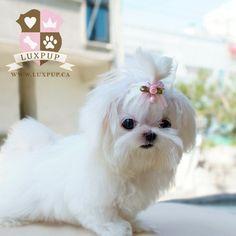 Maltese - so cute!