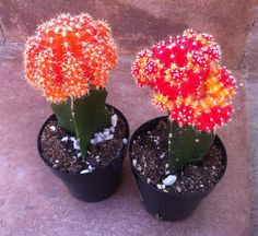 Cactus Plant  Grafted 'Moon Cactus' Bright by SucculentOasis, $7.00