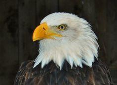 What do you call a sick eagle? Illegal! #bird #jokes