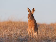 theacidapple:    Brown Hare (Lepus Europaeus) by elliot.hook on Flickr.