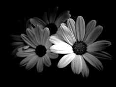 Daisies in black and white.